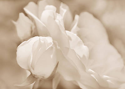 Photograph - White Roses Soft Brown by Jennie Marie Schell