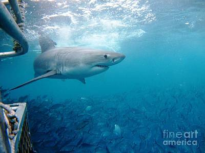 Rodney Fox Photograph - White Shark Surface Cage by Crystal Beckmann