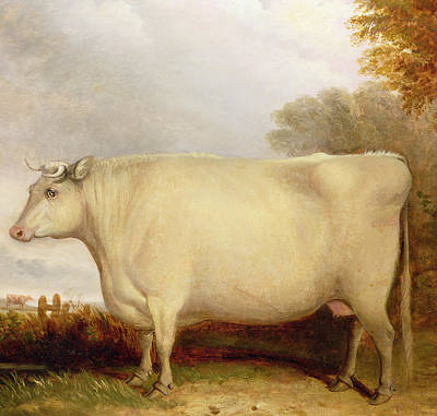 White Short-horned Cow In A Landscape Art Print