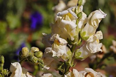 Photograph - White Snapdragon by Katherine White