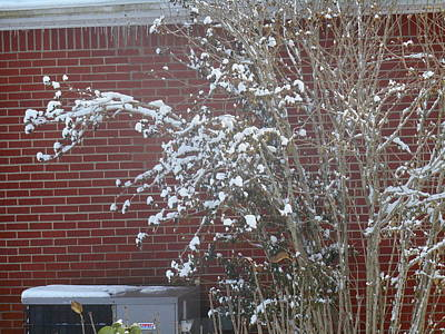 Photograph - White Snow Bush Against Red Bricks by Shea Holliman