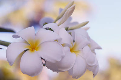 Home Design Element Photograph - White Snow Frangipani Flowers by Jenny Rainbow