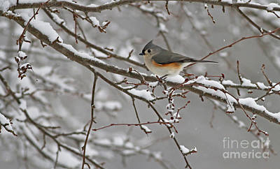 White Snow Titmouse Art Print