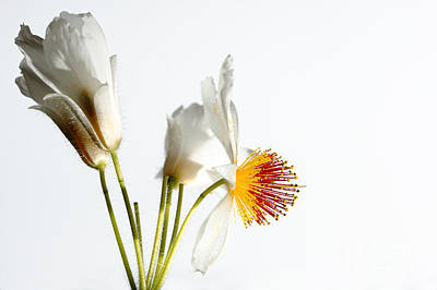 The Champagne Collection - White Sparmannia Africana plant. by Jan Brons