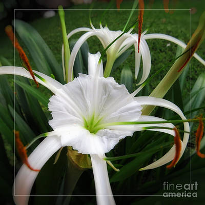 White Spider Lily Flower Art Print