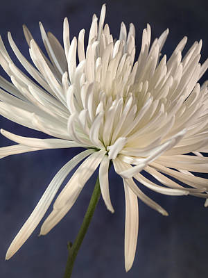 White Spider Mum On Blue Art Print