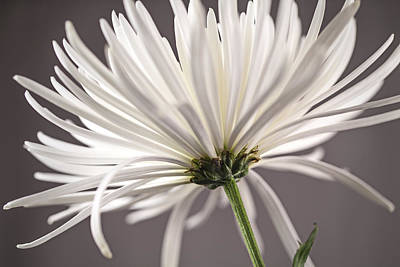White Spider Mum On Gray Art Print