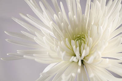 White Spider Mum On White Art Print