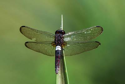 Dragonflies Photograph - White-spot Dragonfly, Odzala, Kokoua by Pete Oxford