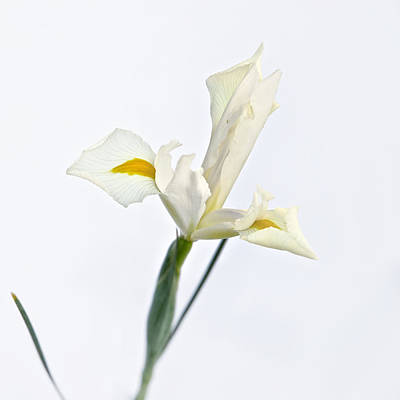 Photograph - White Iris On White by Mary Lee Dereske
