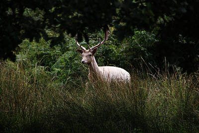 Photograph - White Stag by Tom Conway