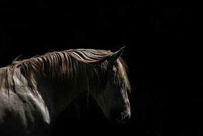 Photograph - White Stallion - Black Background by Ryan Courson Photography