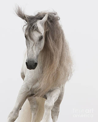 Long Mane Photograph - White Stallion Jumps by Carol Walker