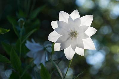 Platycodon Photograph - White Star by Georgia Mizuleva