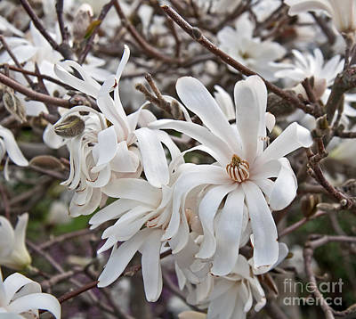 Photograph - White Star Magnolia Tree In Bloom Art Prints by Valerie Garner
