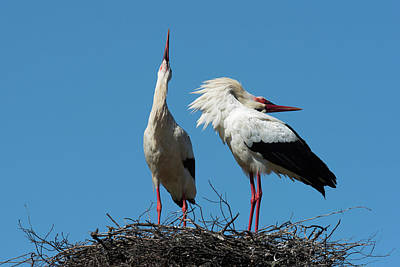 Stork Wall Art - Photograph - White Stork Courtship Display by Dr P. Marazzi/science Photo Library