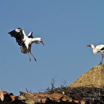 White Stork Landing Art Print by Heiko Koehrer-Wagner