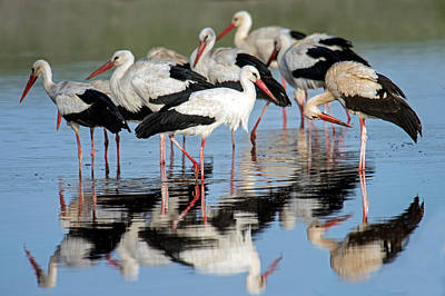 Of Birds Photograph - White Storks Ciconia Ciconia In A Lake by Panoramic Images