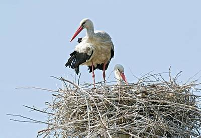 Stork Wall Art - Photograph - White Storks Nesting by John Devries/science Photo Library