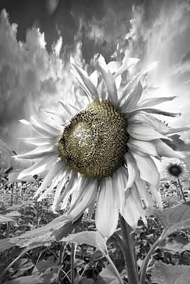 White Sunflower Art Print by Debra and Dave Vanderlaan