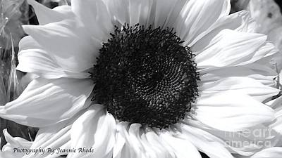 Art Print featuring the photograph White Sunflower by Jeannie Rhode