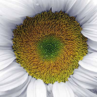 White Sunflower Art Print by Per Lidvall