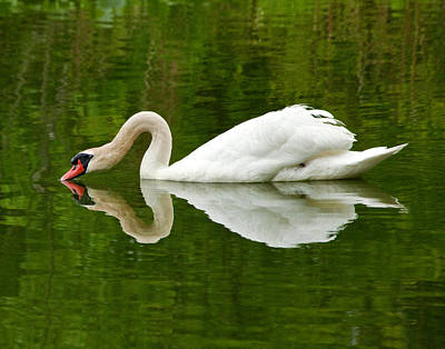 Art Print featuring the photograph Graceful White Swan Heart  by Jerry Cowart