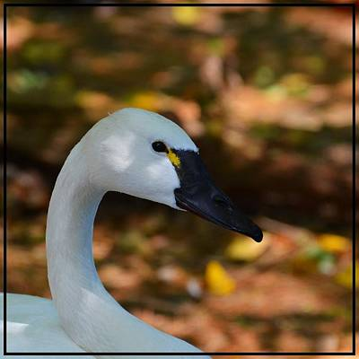 White Swan Art Print by Helene Dignard