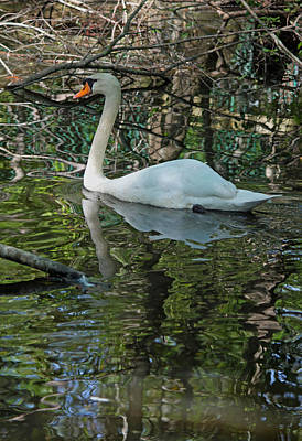 White Swan IIi Original
