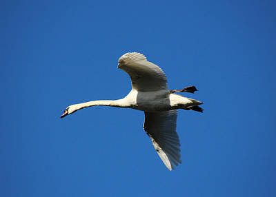 Photograph - White Swan In Flight by Tom Conway