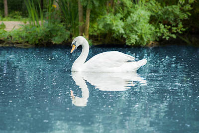 Photograph - White Swan On Blue Water by Nila Newsom