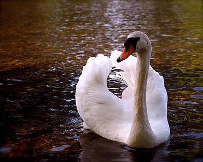 Photograph - White Swan by Rona Black
