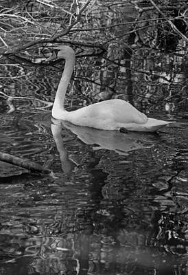 Photograph - White Swan Series I - Black And White by Suzanne Gaff