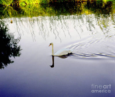 Photograph - White Swan Solitary In Colour by Richard Morris