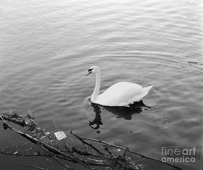 Photograph - White Swan Solitary by Richard Morris
