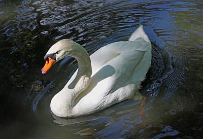 White Swan Vi Original