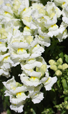 Photograph - White Sweet Peas by Lee Hartsell