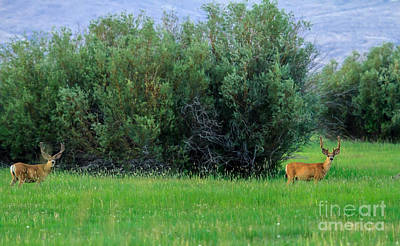 Trophy Buck Photograph - White-tail Bucks by Robert Bales