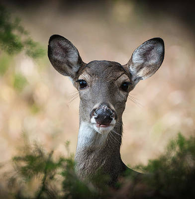 Photograph - White Tail Close-up by John Johnson