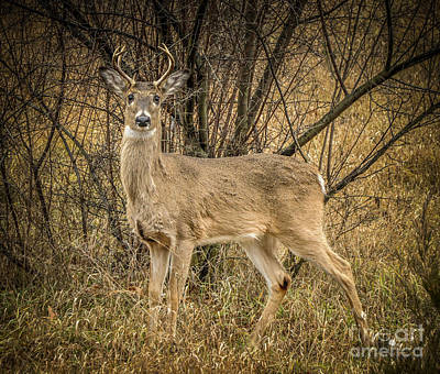 Photograph - White Tail Deer Buck by Ronald Grogan
