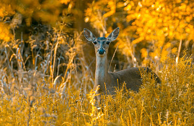 Photograph - White Tail Deer by John Johnson