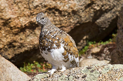 Classic Golf - White Tail Ptarmigan on Mount Evans by Fred Stearns