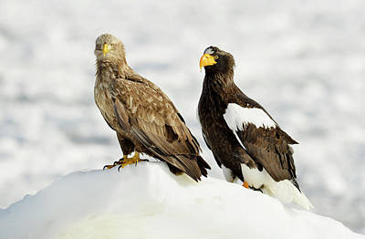 Two Tailed Photograph - White-tailed And Steller's Sea Eagles by Dr P. Marazzi