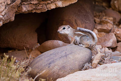Photograph - White-tailed Antelope Squirrel by Martha Marks