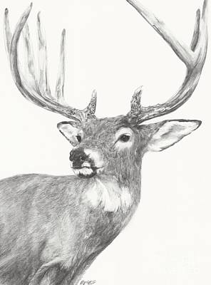 Drawing - White Tailed Buck Study by Meagan  Visser