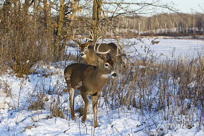 White-tailed Buck Photograph - White-tailed Bucks In Winter by Linda Freshwaters Arndt