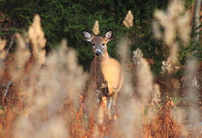 Photograph - White Tailed Deer At Meadow Edge by John Burk