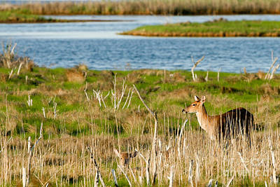 Photograph - White-tailed Deer Beside A River by Martha Marks