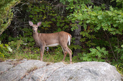 Photograph - White Tailed Deer by Brenda Jacobs