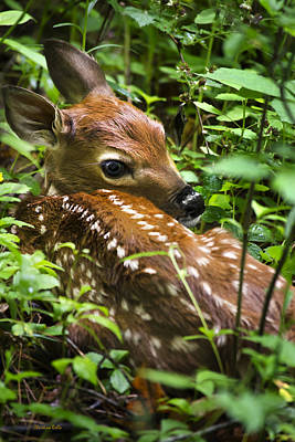 Photograph - White Tailed Deer Fawn by Christina Rollo